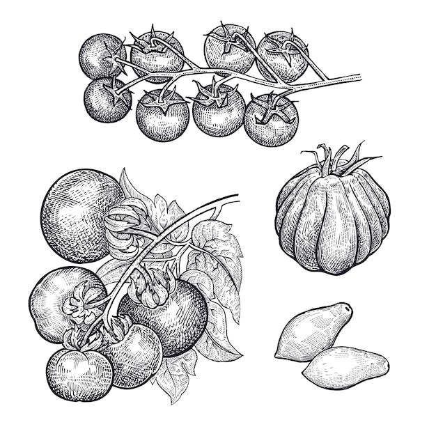 野菜のトマトの手描き。 Premiumベクター