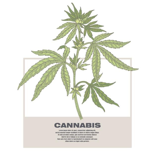 Иллюстрация конопли лекарственных трав. Premium векторы