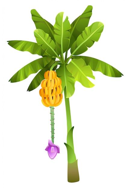 分離された果物と熱帯のジャングルバナナの木 Premiumベクター