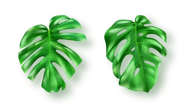Тропические зеленые листья монстера на белом Бесплатные векторы