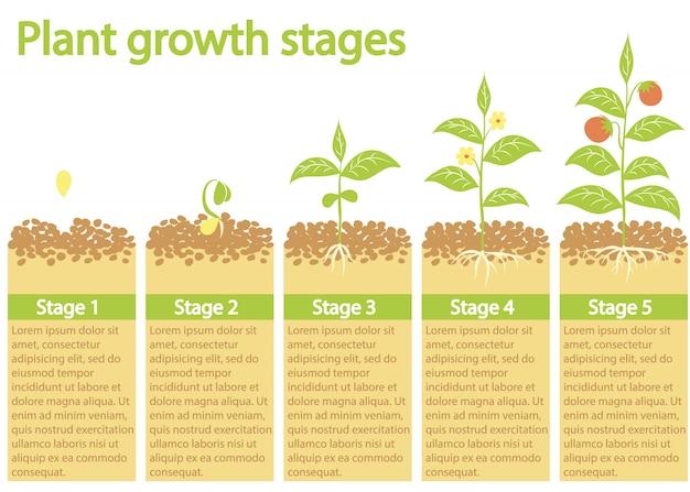 インフォグラフィックを育てる植物。植物の成長プロセス。植物の成長段階。 Premiumベクター