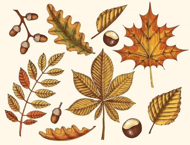 秋の紅葉のセットです。カエデ、シラカバ、栗、ドングリ、トネリコ、オークの描かれた葉を手します。スケッチ。ビンテージ Premiumベクター