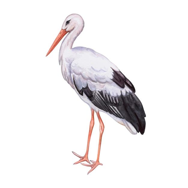 コウノトリリアルな鳥が分離されました。水彩 Premiumベクター