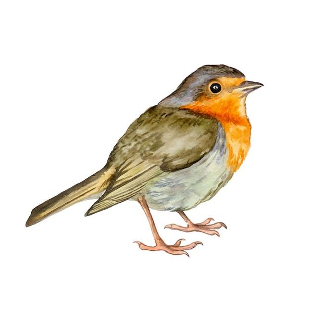 水彩鳥ロビン手描き Premiumベクター