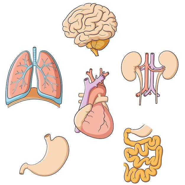 脳肺心臓腎臓胃腸 Premiumベクター