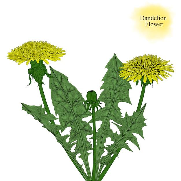 Рисованный цветок одуванчика Premium векторы