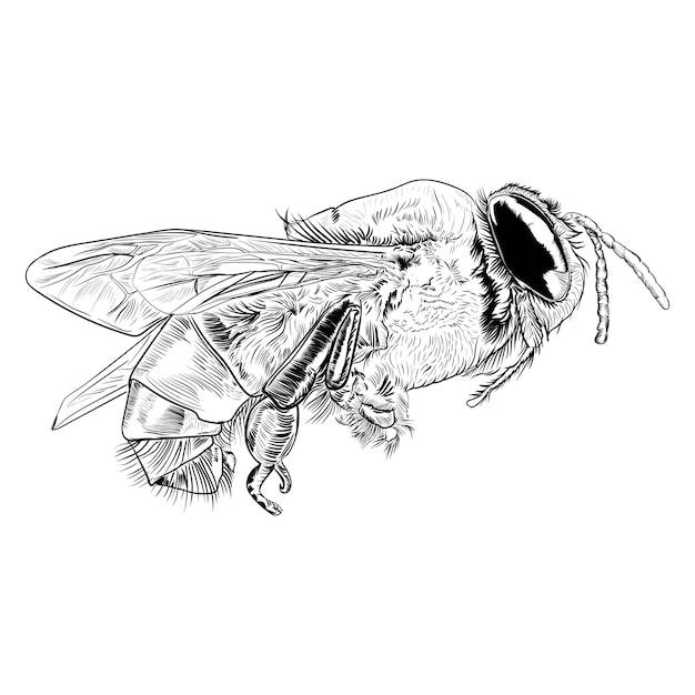 白い背景の上のミツバチのベクトル彫刻イラスト Premiumベクター