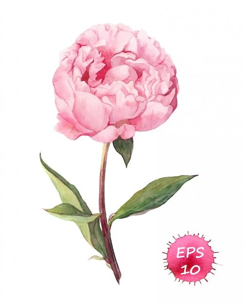 Розовый пион цветок Premium векторы