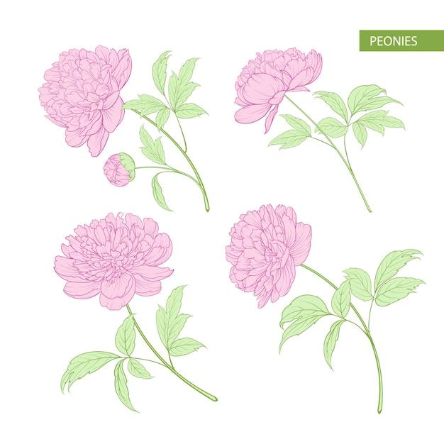 Набор цветочных элементов пиона. Premium векторы
