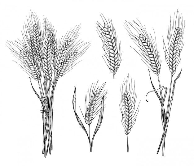Набор рисованной эскиз колосья пшеницы Premium векторы