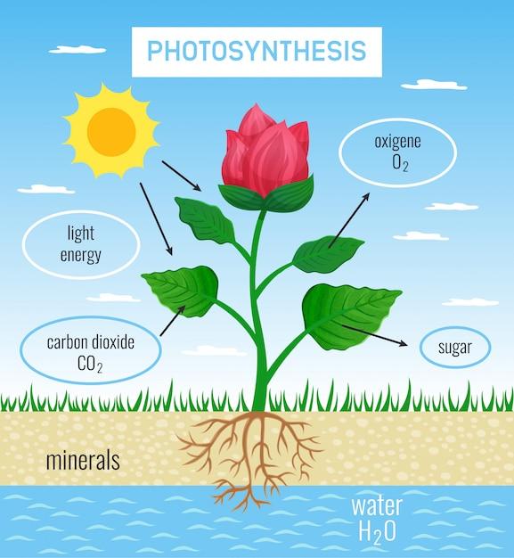 太陽エネルギーから化学物質への変換を描いた植物成長フラット教育ポスターにおける生物学的光合成の役割 無料ベクター