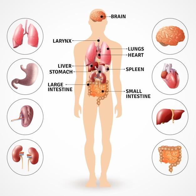 人体解剖臓器 無料ベクター