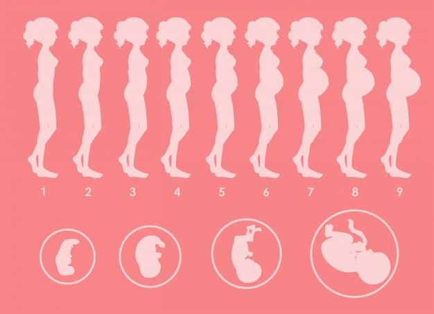 妊娠経過のベクトル 無料ベクター