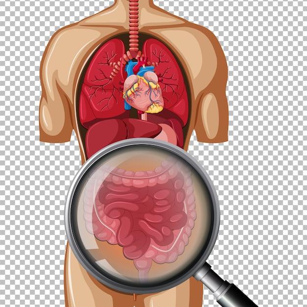 人体の腸構造 Premiumベクター