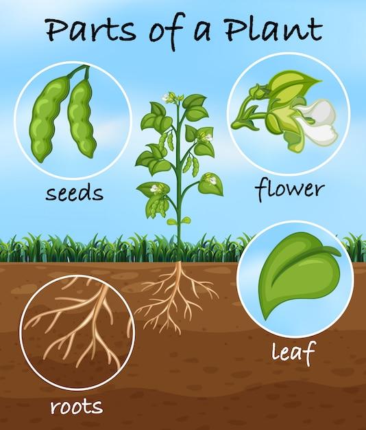 植物の部品 Premiumベクター