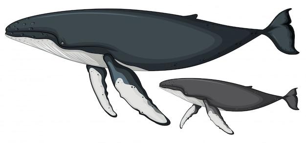 Горбатый кит на белом фоне Бесплатные векторы