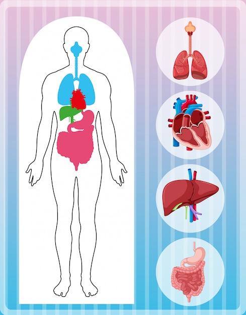 多くの臓器を持つ人体解剖学 無料ベクター