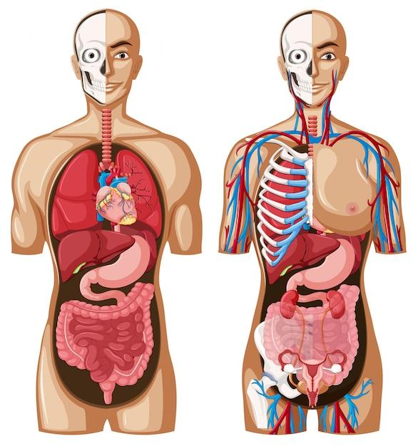 異なるシステムを用いた人体解剖学モデル 無料ベクター
