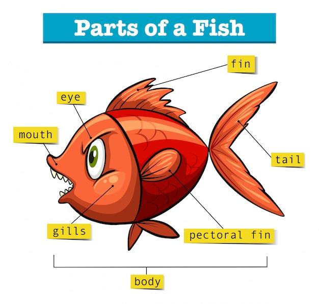 Диаграмма, показывающая части рыбы Бесплатные векторы