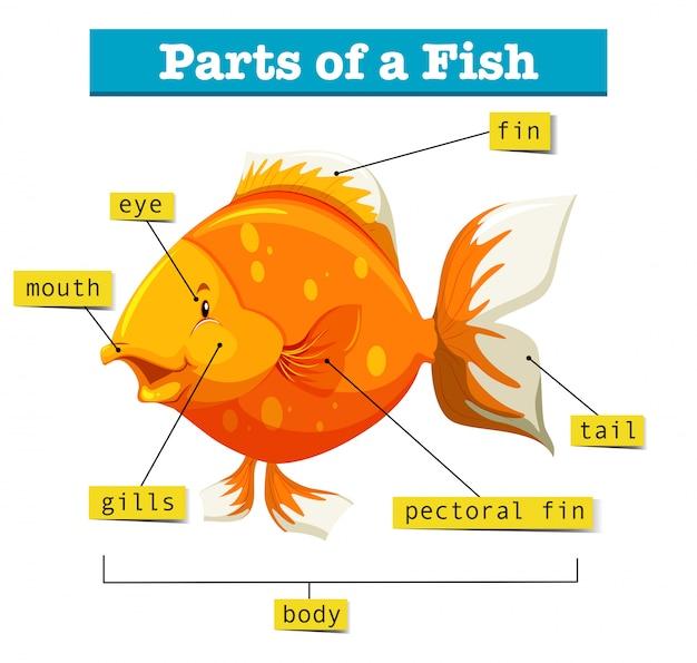 Схема с частями рыбы Бесплатные векторы