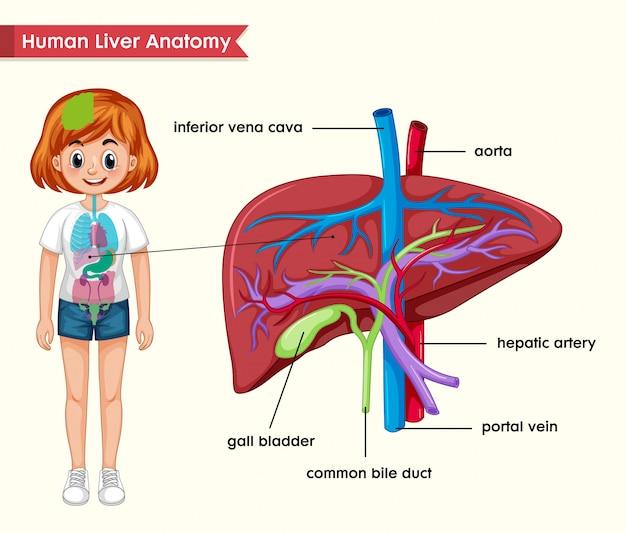 Научная медицина анатомии печени Бесплатные векторы