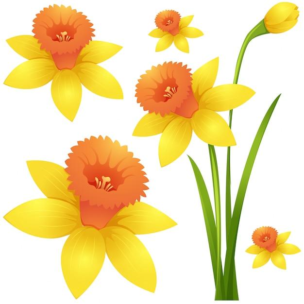 黄色の水仙の花 無料ベクター