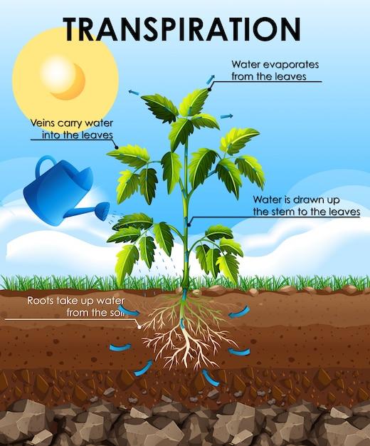 Диаграмма, показывающая транспирацию с растением Бесплатные векторы