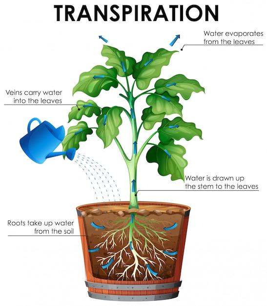 Схема транспирации с растением и водой Бесплатные векторы