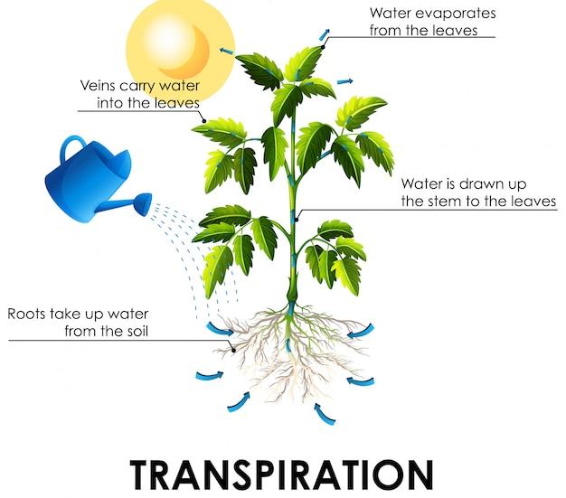 植物と水による蒸散を示す図 無料ベクター