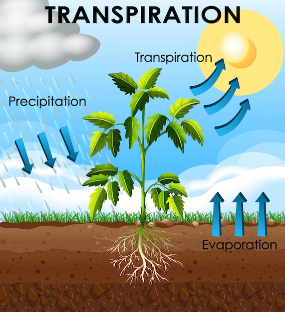 Диаграмма, показывающая транспирацию растения Бесплатные векторы