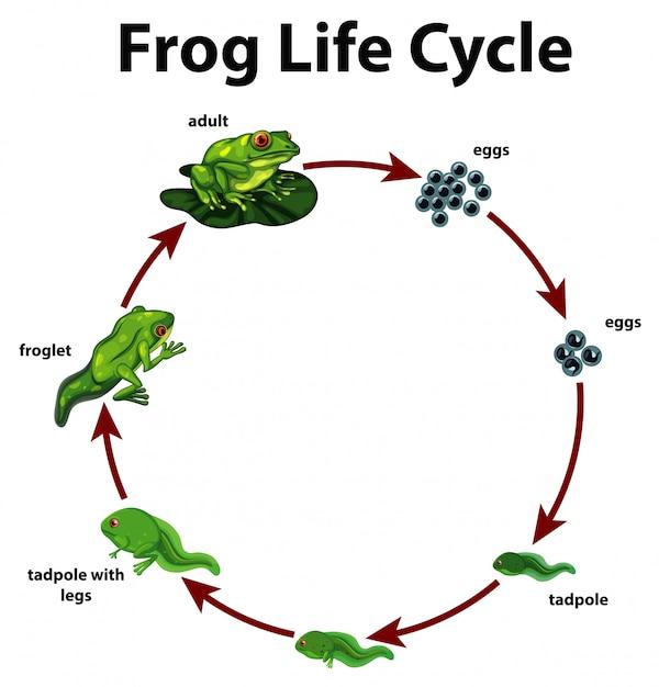 カエルのライフサイクルを示す図 無料ベクター