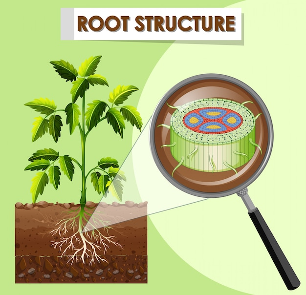植物の根の構造を示す図 無料ベクター