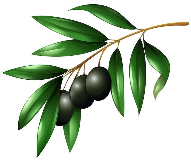 Черные оливки на ветке Бесплатные векторы