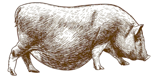 豚のアンティークの図面を彫刻 Premiumベクター
