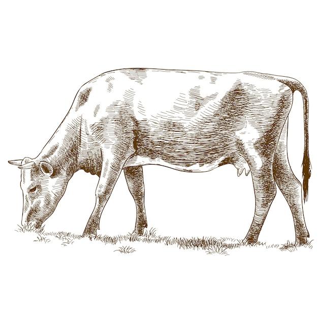 牛の彫刻イラスト Premiumベクター