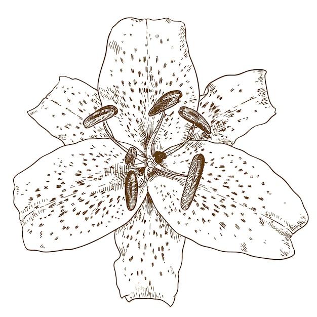 Гравюра иллюстрации цветка тигровой лилии Premium векторы