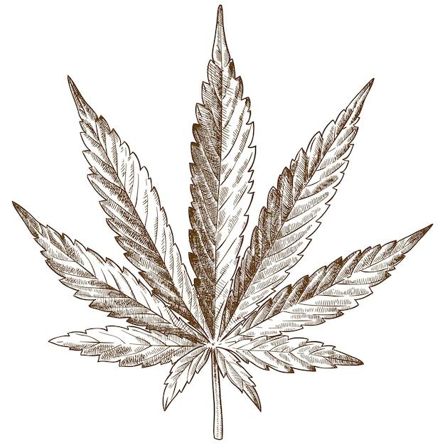 Гравюра рисунок иллюстрации листьев конопли Premium векторы