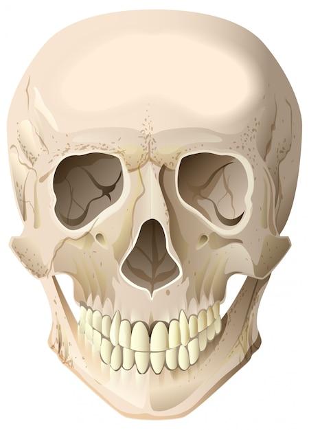 Реалистичный человеческий череп Premium векторы