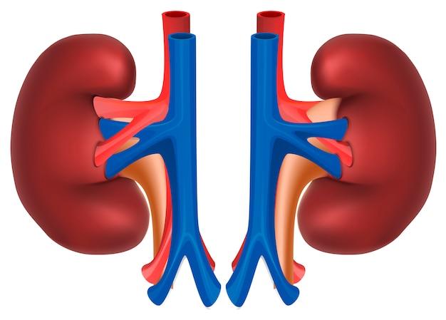 健康な人の腎臓 Premiumベクター