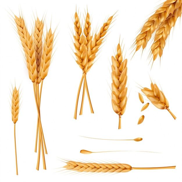 小麦の耳と種子の現実的なベクトルコレクション 無料ベクター