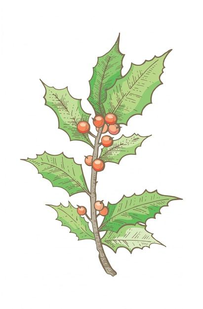 クリスマスヒイラギの枝、手描きのスケッチ。 Premiumベクター