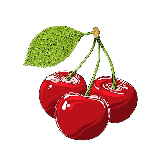 Ручной обращается эскиз вишни в цвете, изолированные. детальный винтажный стиль рисования Premium векторы