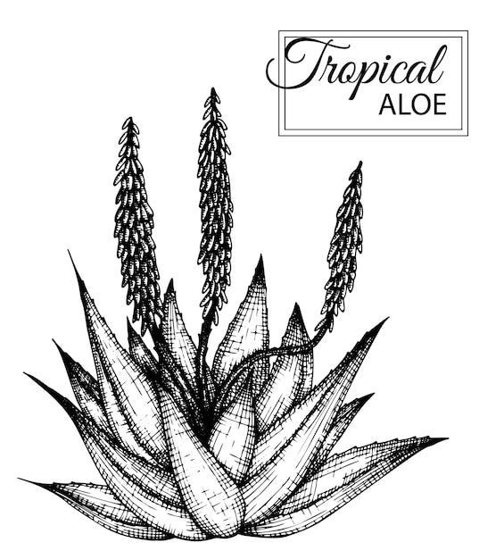 Иллюстрация тропического цветка изолированы. рисованной алоэ. , Premium векторы
