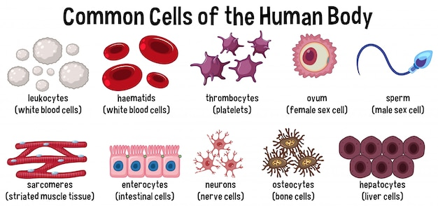 人体の共通細胞 Premiumベクター