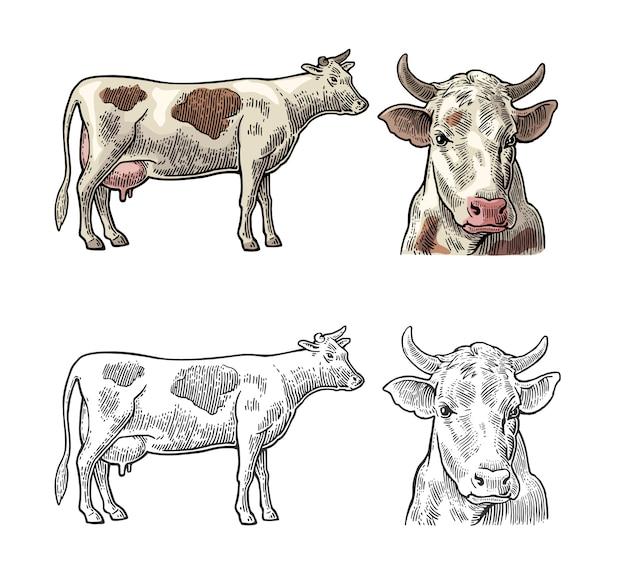 牛。側面および正面図。ビンテージ彫刻 Premiumベクター