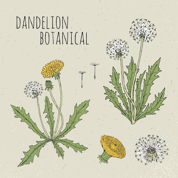 Одуванчик медицинская ботаническая иллюстрация. растение, цветы, листья, семена, корень рисованной набор. старинный красочный эскиз. Premium векторы