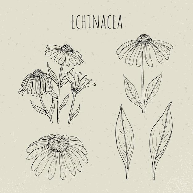 Иллюстрация эхинацеи медицинская ботаническая изолированная. растения, цветы, листья рисованной набор. старинный набросок эскиз. Premium векторы