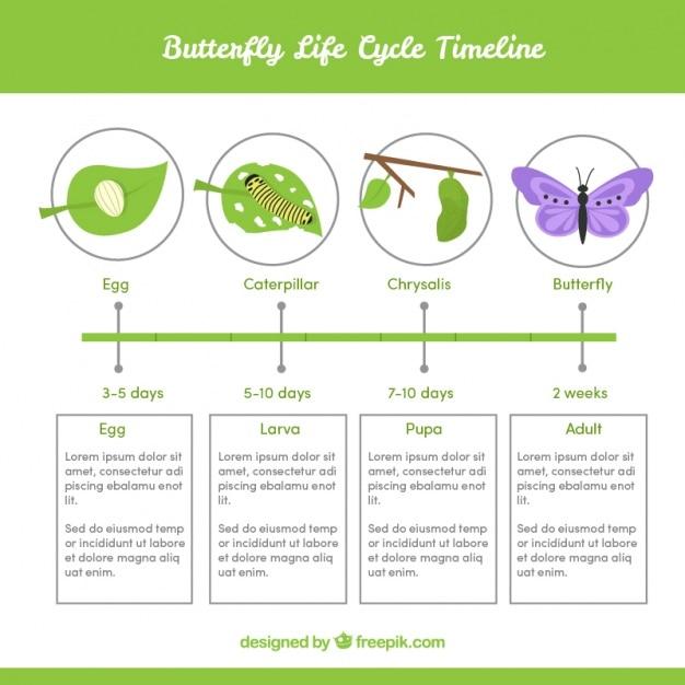 Инфографики о жизненном цикле бабочки Бесплатные векторы