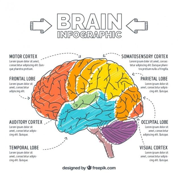 手描きの脳のインフォグラフィック 無料ベクター