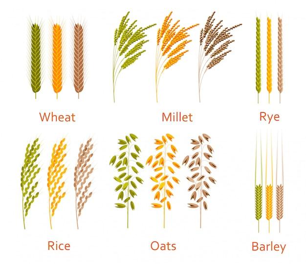 Зерновые растения установлены. источники углеводов. силуэт иллюстрации Premium векторы